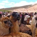 Lamas enclos Andes Bolivie