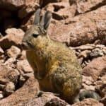 Viscache Andes Bolivie