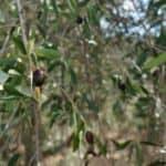 Les olives de Monsieur Olivier
